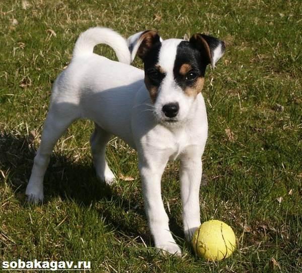 Парсон-рассел-терьер-собака-Описание-особенности-уход-и-цена-породы-5