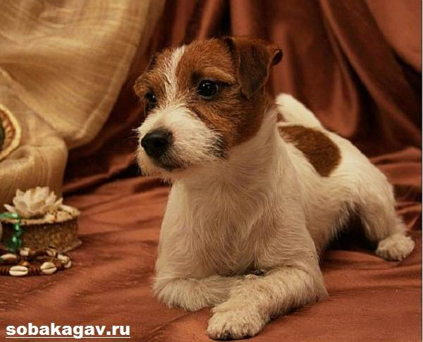 Парсон-рассел-терьер-собака-Описание-особенности-уход-и-цена-породы-6