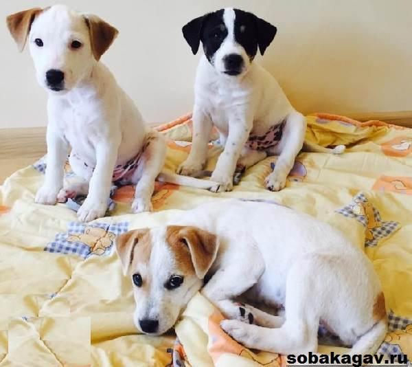 Парсон-рассел-терьер-собака-Описание-особенности-уход-и-цена-породы-7