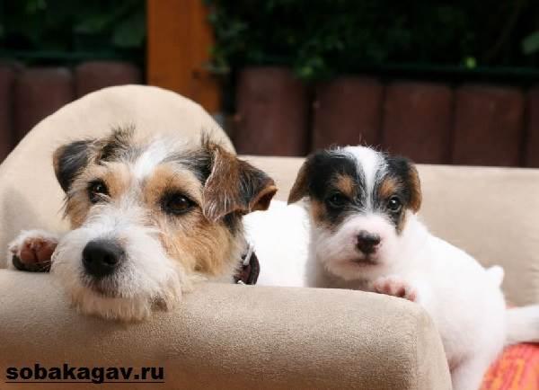 Парсон-рассел-терьер-собака-Описание-особенности-уход-и-цена-породы-8