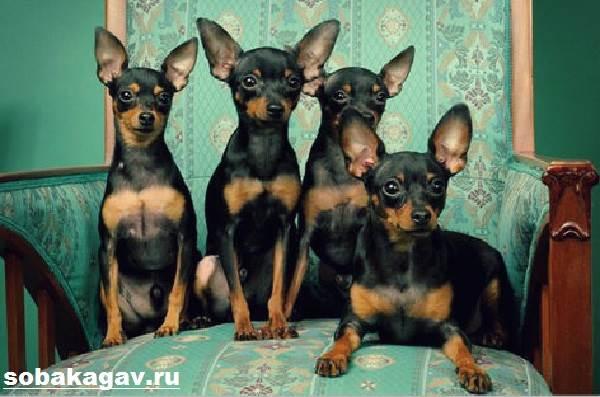 Пражский-крысарик-собака-Описание-особенности-уход-и-цена-породы-1
