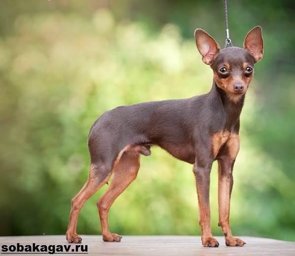 Пражский-крысарик-собака-Описание-особенности-уход-и-цена-породы-10
