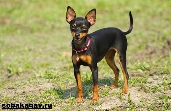 Пражский-крысарик-собака-Описание-особенности-уход-и-цена-породы-4
