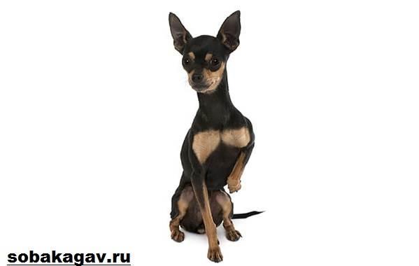 Пражский-крысарик-собака-Описание-особенности-уход-и-цена-породы-8