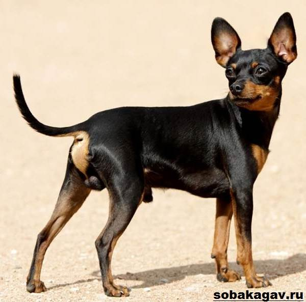 Пражский-крысарик-собака-Описание-особенности-уход-и-цена-породы-9