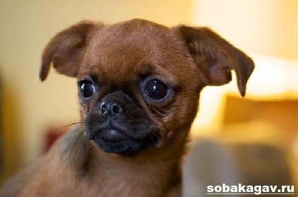 Пти-брабансон-собака-Описание-особенности-уход-и-цена-породы-2