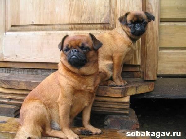 Пти-брабансон-собака-Описание-особенности-уход-и-цена-породы-3