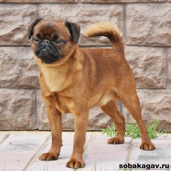 Пти-брабансон-собака-Описание-особенности-уход-и-цена-породы-4