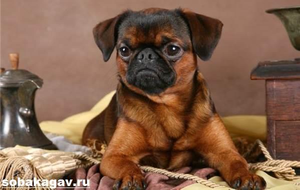 Пти-брабансон-собака-Описание-особенности-уход-и-цена-породы-5