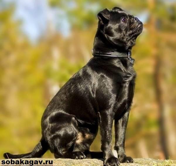 Пти-брабансон-собака-Описание-особенности-уход-и-цена-породы-7