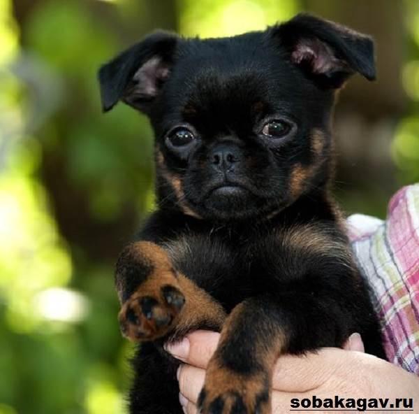 Пти-брабансон-собака-Описание-особенности-уход-и-цена-породы-9
