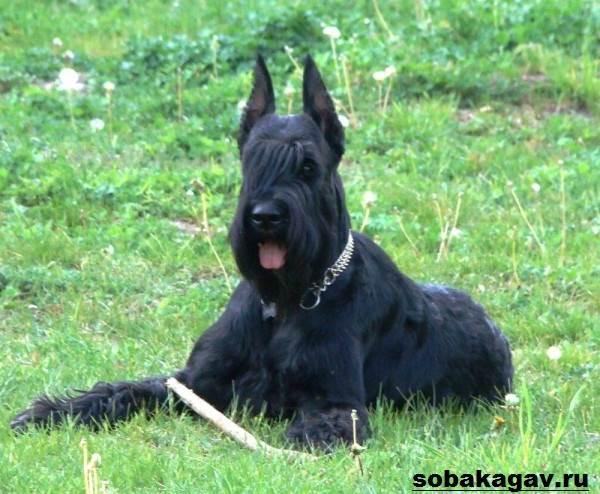 Ризеншнауцер-собака-Описание-особенности-уход-и-цена-ризеншнауцера-1