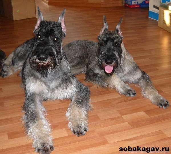 Ризеншнауцер-собака-Описание-особенности-уход-и-цена-ризеншнауцера-10