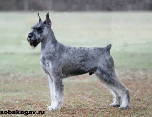 Ризеншнауцер-собака-Описание-особенности-уход-и-цена-ризеншнауцера-11