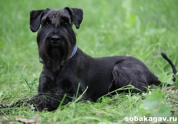 Ризеншнауцер-собака-Описание-особенности-уход-и-цена-ризеншнауцера-2