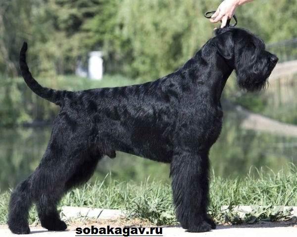 Ризеншнауцер-собака-Описание-особенности-уход-и-цена-ризеншнауцера-3