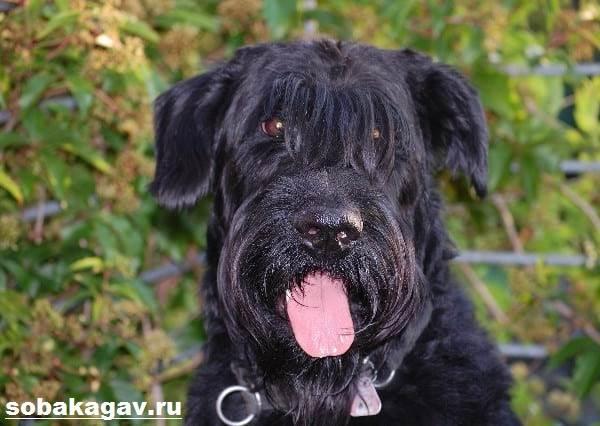 Ризеншнауцер-собака-Описание-особенности-уход-и-цена-ризеншнауцера-4
