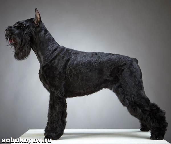 Ризеншнауцер-собака-Описание-особенности-уход-и-цена-ризеншнауцера-5