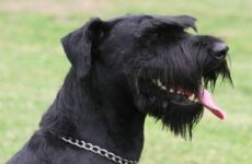 Ризеншнауцер собака. Описание, особенности, уход и цена ризеншнауцера
