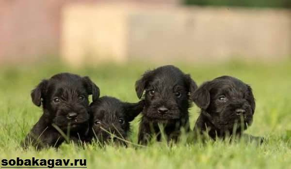 Ризеншнауцер-собака-Описание-особенности-уход-и-цена-ризеншнауцера-9