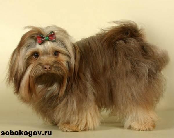 Русская-болонка-собака-Описание-особенности-уход-и-цена-русской-болонки-1