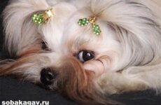 Русская болонка собака. Описание, особенности, уход и цена русской болонки