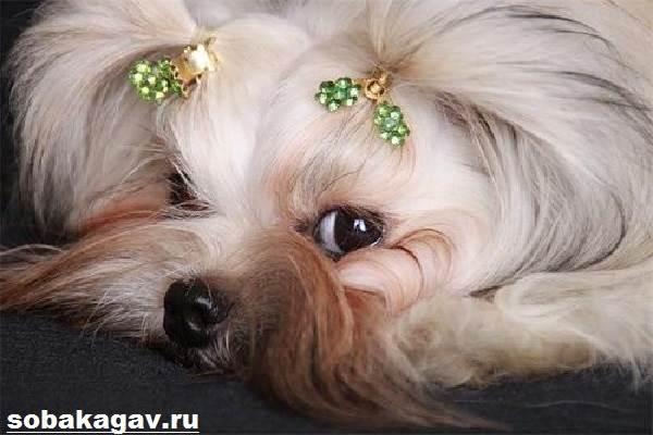 Русская-болонка-собака-Описание-особенности-уход-и-цена-русской-болонки-2