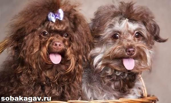 Русская-болонка-собака-Описание-особенности-уход-и-цена-русской-болонки-3