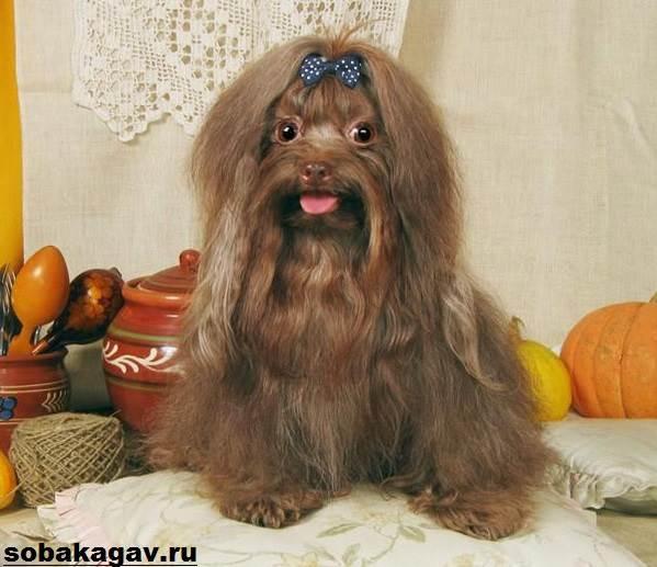 Русская-болонка-собака-Описание-особенности-уход-и-цена-русской-болонки-6