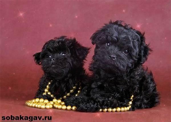 Русская-болонка-собака-Описание-особенности-уход-и-цена-русской-болонки-7