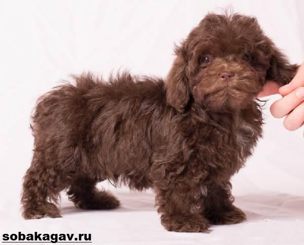 Русская-болонка-собака-Описание-особенности-уход-и-цена-русской-болонки-8
