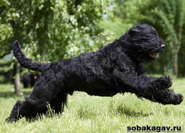 Русский-черный-терьер-собака-Описание-особенности-уход-и-цена-породы-1