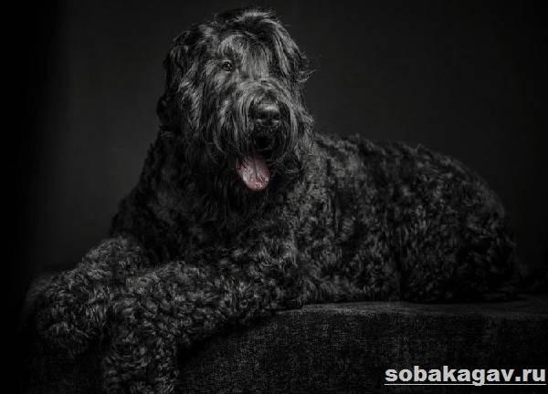 Русский-черный-терьер-собака-Описание-особенности-уход-и-цена-породы-10