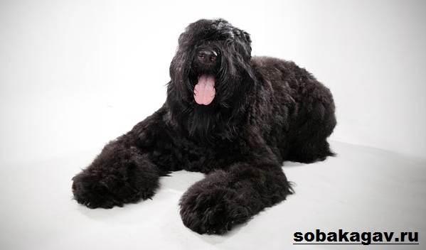 Русский-черный-терьер-собака-Описание-особенности-уход-и-цена-породы-11