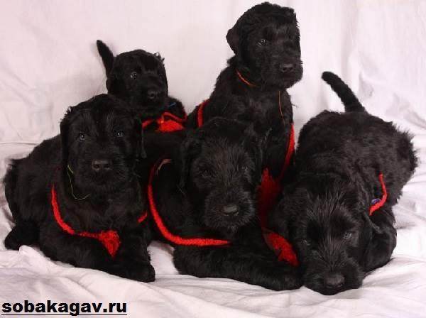 Русский-черный-терьер-собака-Описание-особенности-уход-и-цена-породы-12
