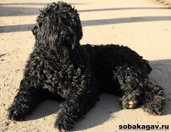 Русский-черный-терьер-собака-Описание-особенности-уход-и-цена-породы-2