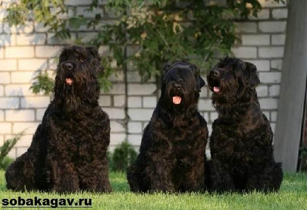 Русский-черный-терьер-собака-Описание-особенности-уход-и-цена-породы-3