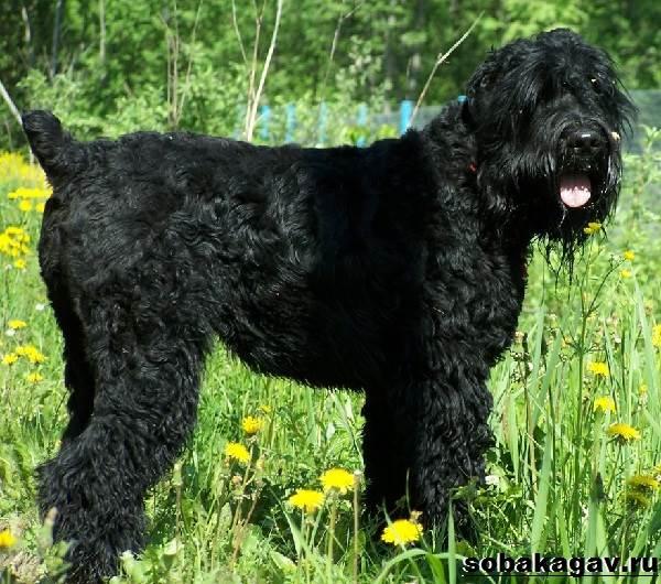 Русский-черный-терьер-собака-Описание-особенности-уход-и-цена-породы-4