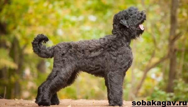 Русский-черный-терьер-собака-Описание-особенности-уход-и-цена-породы-5