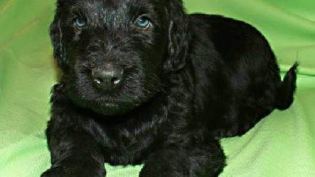 Русский черный терьер собака. Описание, особенности, уход и цена породы