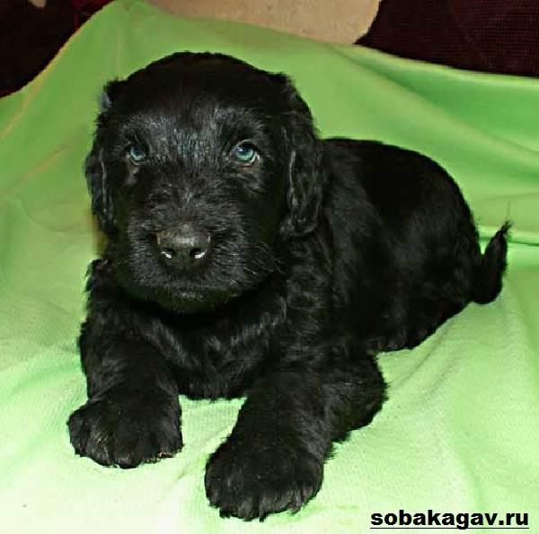 Русский-черный-терьер-собака-Описание-особенности-уход-и-цена-породы-6