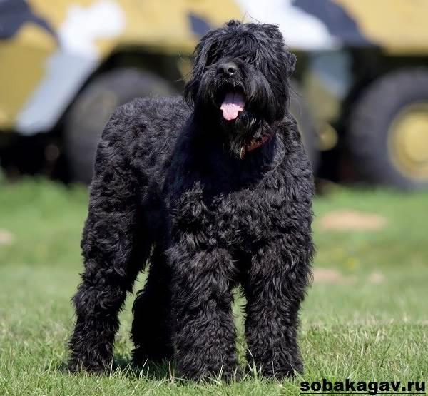 Русский-черный-терьер-собака-Описание-особенности-уход-и-цена-породы-7
