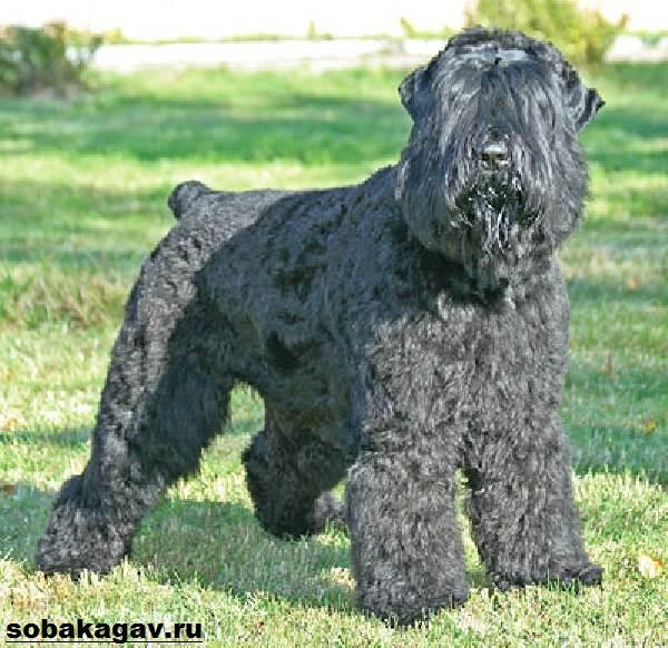 Русский-черный-терьер-собака-Описание-особенности-уход-и-цена-породы-8
