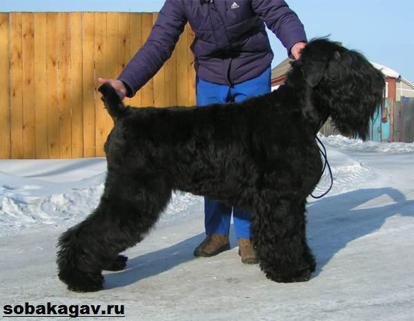 Русский-черный-терьер-собака-Описание-особенности-уход-и-цена-породы-9