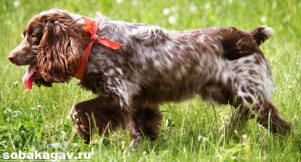 Русский-охотничий-спаниель-собака-Описание-особенности-уход-и-цена-породы-1