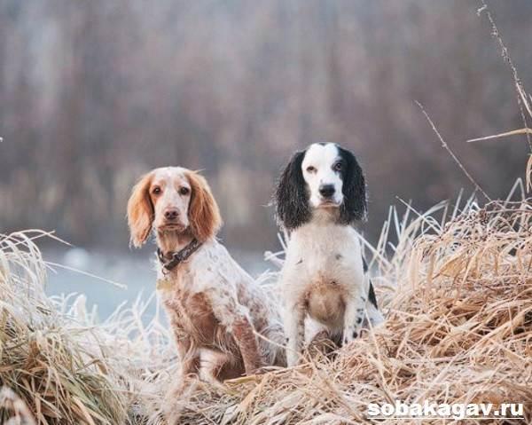 Русский-охотничий-спаниель-собака-Описание-особенности-уход-и-цена-породы-10