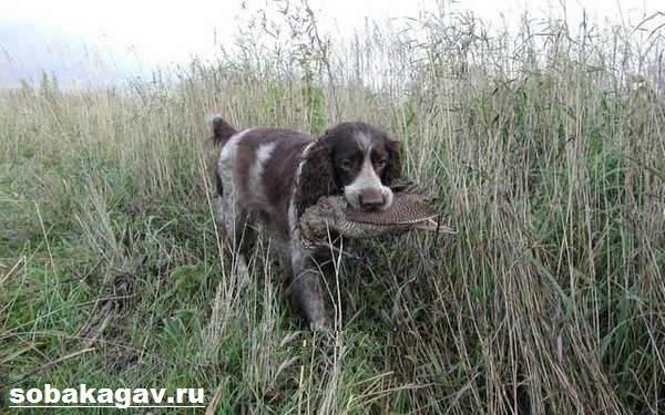 Русский-охотничий-спаниель-собака-Описание-особенности-уход-и-цена-породы-11