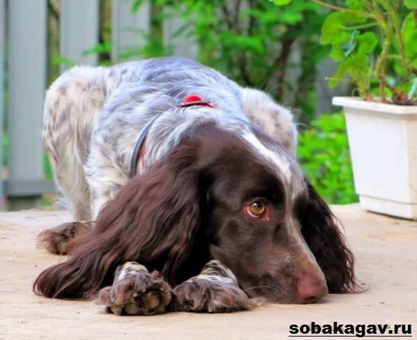 Русский-охотничий-спаниель-собака-Описание-особенности-уход-и-цена-породы-2