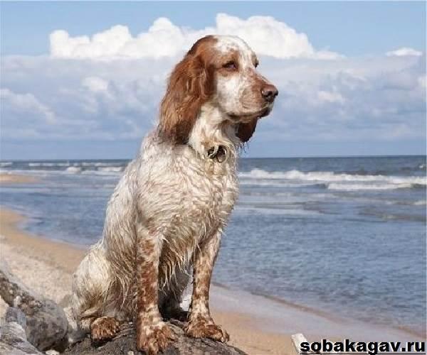 Русский-охотничий-спаниель-собака-Описание-особенности-уход-и-цена-породы-3