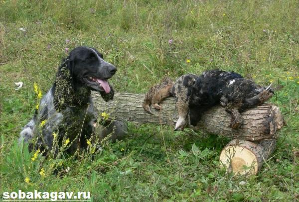 Русский-охотничий-спаниель-собака-Описание-особенности-уход-и-цена-породы-5